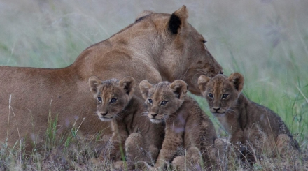 world lion day 2014 featured