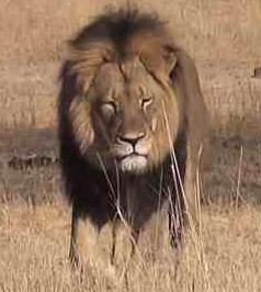 rs_300x300-150728134433-600.Cecil-The-Lion.jl.072815