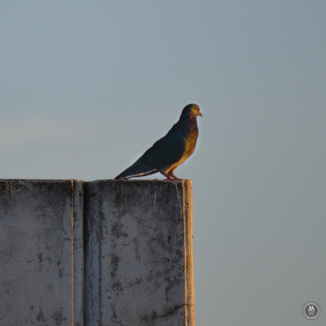 DSC_0136 (1)Pigeon
