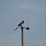 DSC_0540 (1)AntennaBird