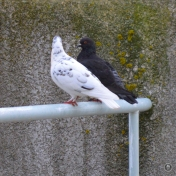 DSC_0606 (1)Lovebirds