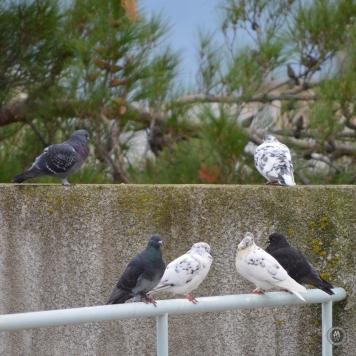 DSC_0609 (1)PigeonGathering