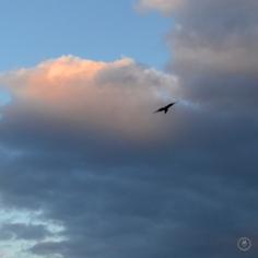 DSC_0875 (1)BirdFlying