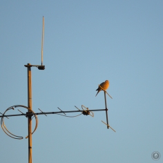 DSC_0899 (1)Pigeon08122018